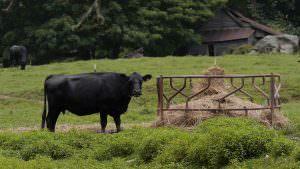 Family Farm Cattle Jefferson NC